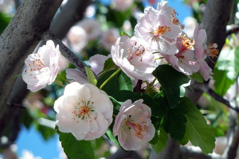 Cherry blossoms, which are perennials, a classic choice when choosing the best florals