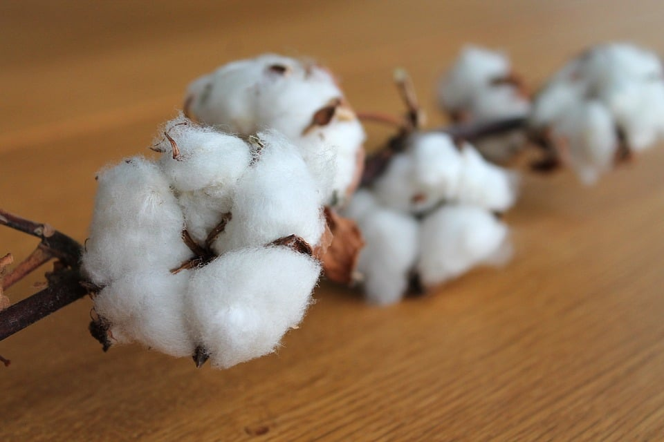 Photo of cotton plant. Learning what cotton look like is essential if you want to know your fabrics